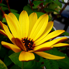 at its prime (gorgeoux) Tags: uk flower green london leaves yellow closeup petals african daisy squared osteospermum