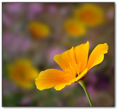 Californian Poppy (rogermccallum) Tags: orange flower poppy californianpoppy aplusphoto quarzoespecial auniverseofflowers awesomeblossoms passionforpoppies cubecoloridocolor silveramazingdetail