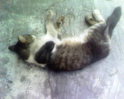 Cat قط