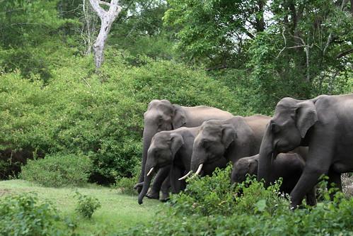 Elephantherd-emerge