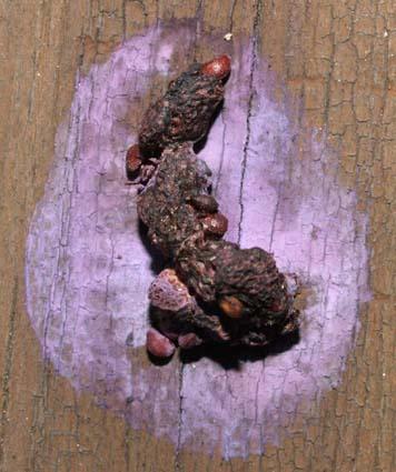 PurplePoop1