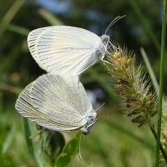 Barred Sulphur  (Eurema daira)  - Godart, 1819 (Burnt Umber) Tags: miami papillon mariposa mariposas farfalla miamiflorida ©allrightsreserved papallonas pirpinto euremadaira godart1819 barredsulphur rpilla001