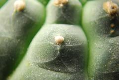 DSC_0152 (runrun02864) Tags: cactus film water cacti technology deep culture hydroponics nft nutrient pereskiopsis