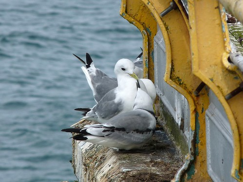 11254 - Kittiwake on Mumbles Pier