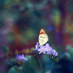 """Just living is not enough,"" said the butterfly, ""One must have sunshine, freedom, and a little flower."" (Quadvision [Bokeh Dreaming]) Tags: canon crossprocessed bokeh quote karachi ef50mmf18ii eos450d hbw quadvision bokehlicious bokehwednesday happybokehwednesday digitalrebelxsi usmanalikhan"