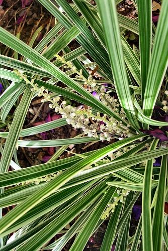 Ophiopogon jaburan 'Vittatus' (rq) - 02