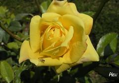 Sarı Gül... Yellow Rose...