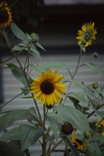 Colorado_Sunflowers[2009]