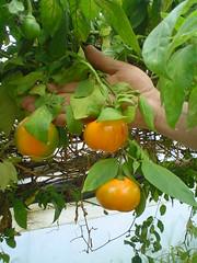 Chiles manzanos