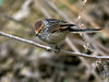 Rusty-crowned Tit-Spinetail (Leptasthenura pileata) (David Cook Wildlife Photography) Tags: peru fbwnewbird fbwadded kookr cajamarcadept rustycrownedtitspinetail leptasthenurapileata losbañosdelinca