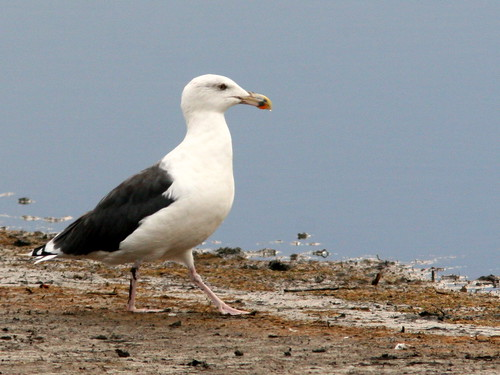 Great Black-backed Gull 20091014