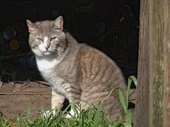 Gray Half Tail Guy (Chriss Pagani) Tags: wild cat catwomen gray shy tuxedo gato katze gatto animalplanet feralcat feral tomcat