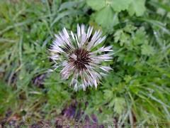 Dandelion test