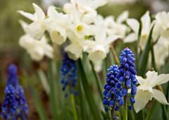 White Daffodils and Grape Hyacinths (Grapefruit Moon (Barb)) Tags: white flower spring purple daffodil hyacinth perrennial