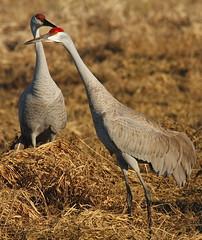 Sandhill Crane   By Mark Trabue (Mark Trabue) Tags: county crane mark indiana jackson bottoms sandhill ewing ias trabue vosplusbellesphotos