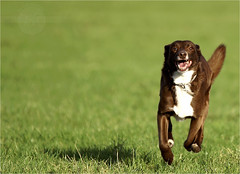Charly - dogs just want to have fun (Pfotenblitzer) Tags: pet dogs nature grass fun mix outdoor sony lawn wiese running charly rennen haustier hunde spass rasen draussen mischling alpha700