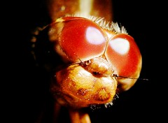Dragonfly's Face (Carlos Andrs Rivera) Tags: pictures travel red macro tourism beautiful beauty america wonderful de eyes colombia dragonfly south great carlos super olympus best libelula sp fotos sur andres rivera calderon 565 mejores uz cauca popayan carlosrivera colorphotoaward macrolife carlosarivera