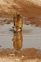 Up To My Eyes !! (Picture Taker 2) Tags: africa wild reflection nature water beautiful closeup outdoors colorful native wildlife hunter curious unusual wilderness plains predator upclose mammals wildanimals africaanimals spottedhayena
