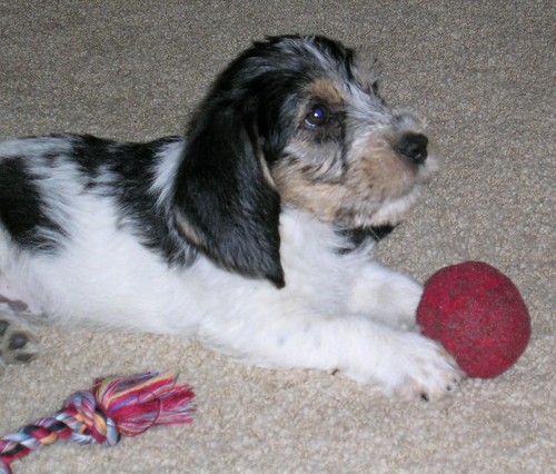 Griff, the PBGV, at 8 weeks!