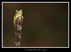 Frog ... reflection ... orig