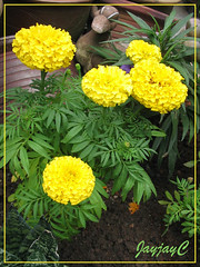 Tagetes erecta 'Antigua Yellow' (African Marigold) in our garden, August 2008
