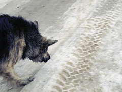 (Ole Lukoie) Tags: road winter dog snow 1 step kazakhstan animalplanet     aktau   mangistau   mangyshlak