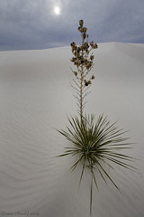 White Sands 2 (Dave Arnold Photo) Tags: whitesands newmexico desert dune dunessouthwest plants yucca peaceaward heartawards usa us sand davearnoldphotocom davearnoldphoto davearnold canon arnold pic picture pictures photo photos photograph image images southwest sw swusa westernusa west western nm nmex arnoldd american getty greatimage canonphotographer canonequipment perfectpicture
