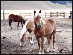 cavalli nella piana (2) (My soul in pixel..) Tags: umbria pianadicastelluccio emilius omaggioallitaliacentrale regionedeimontisibillini eraunaterradiboschi cavalliaveglinesi