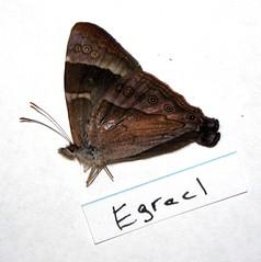 Erycinidia gracilis