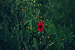 (Khyrazad) Tags: flowers red flower green grass erba fiori prato papavero fiorellini