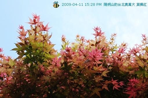 09.04.11台北奧萬大賞楓紅 (16)