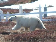 polar11