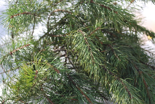 some pine branches