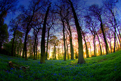 Sunset forest (Antti-Jussi Liikala) Tags: travel flowers blue trees light sunset england sky sun tree green yellow bluebells forest d50 dark evening spring oak nikon warm exposure mood ray glow air horizon silhouettes fisheye rays nikkor berkshire wald soe lue auringonlasku flickrsbest abigfave platinumphoto anawesomeshot colorphotoaward superaplus aplusphoto kalansilm alemdagqualityonlyclub vanagram