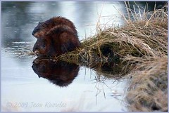 Muskrats (Jean Knowles) Tags: morning brown water creek sunrise fur spring stream novascotia magic bank surprise arr grasses brook geotag stillness muskrat allrightsreserved ondatrazibethicus shelburnecounty atwoodsbrook ondatra nottobeusedwithoutmypermission 2009jeanknowles