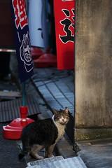 DSC_7107 (H2@Japan) Tags: street japan cat tokyo nikon kitty 東京 猫 d300