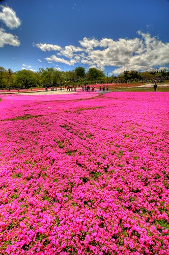 Shibazakura  -flower carpet