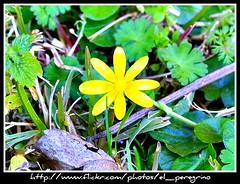 Fiore - Flower (El Peregrino) Tags: flower verde green fleur yellow vert giallo fioi yourcountry