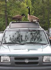 Goose (Bahman Farzad) Tags: geese canadian goose