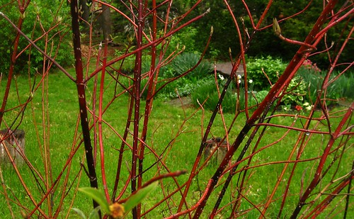 red stem dogwood