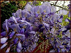 """Falling off the fence! (""""alley cat photography') Tags: mygarden wisteria flowersgonewild uilt purplemadness"""