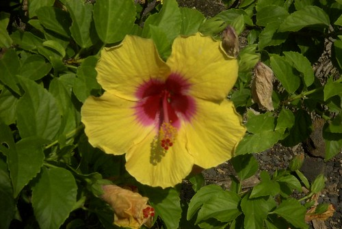 YELLOW HIBISCUS WITH PURPLE CENTER