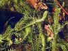 South American waterweed (Egeria densa) ELODEA ......... Original = (3648 x 2736) (turdusprosopis) Tags: aquaticplants invasiveplant invasiveplants hydrocharitaceae elodea egeriadensa floraargentina egeriadensaplanch invasiveaquaticplant florainvasora elodeadensa plantasargentinas plantasdeargentina plantasautóctonasargentinas plantasautóctonasdelaargentina floraautóctonaargentina floraautóctonadeargentina plantasnativasargentinas plantasnativasdeargentina plantasnativasdelaargentina floradelaargentina floradeargentina plantasautóctonasdeargentina floraautóctonadelaargentina floranativabrasileira floranativadobrasil floradobrasil argentineindigenousplants especiesinvasoras hydrocharitáceas hidrocharitáceas plantasinvasoras elodeas anacharisdensa philotriadensa hidrocaritáceas invasiveaquaticplants prohibitedplants pestaquaticplants plantasinvasorasdeespaña egerias hydrocaritáceas plantspest florainvasoradeespaña florainvasoraenespaña plantasinvasorasenespaña