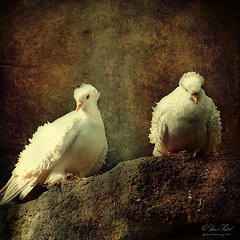 The Bridesmaids (fesign) Tags: white pigeons feathers curls doves disheveled ruffle frill frillback fancypigeon memoriesbook redmatrix