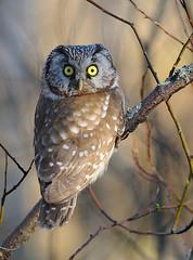 Yllätys !!! (mattisj) Tags: bird explore owl borealowl lintu aegoliusfunereus tengmalmsowl helmipöllö specanimal specanimalphotooftheday avianexcellence