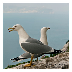 Seagulls (Salva Mira) Tags: rock gaviotas pasvalenci calp pen penyal pendeifach penyaldifach salvamira eixidetes eixidetespelpasvalenci intranscendent gavienes