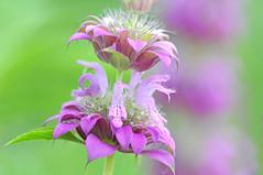 Lemon Mint (NaturalLight) Tags: park creek lemon purple lavender mint kansas prairie wildflower wichita chisholm chisholmcreekpark