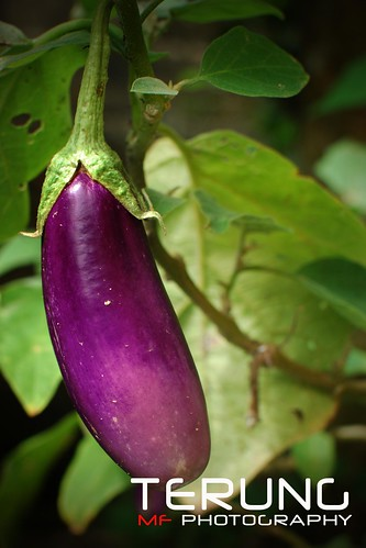 khasiat buah terung...