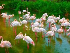 Flamingos in the rain - colorful -  ZOO: Wilhelma Stuttgart (eagle1effi) Tags: june fauna germany favoriten lumix photography zoo flora flickr bestof photos stuttgart wildlife flamingo selection fav20 best fotos fav30 2009 picnik auswahl beste wilhelma damncool selektion fav10 30faves views500 10faves views100 views200 20faves views300 rosaflamingo 25faves lieblingsbilder eagle1effi byeagle1effi dmcfx10 naturewatcher lumixaward wilhelmastuttgart ae1fave vosplusbellesphotos yourbestoftoday flickrunitedaward über100malgesehen tagesbeste