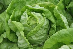 boston lettuce head
